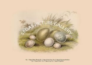 Eggs of Song-Thrush - Gold-Crest - Chimney Swallow - Wren - Jay - Kingfisher